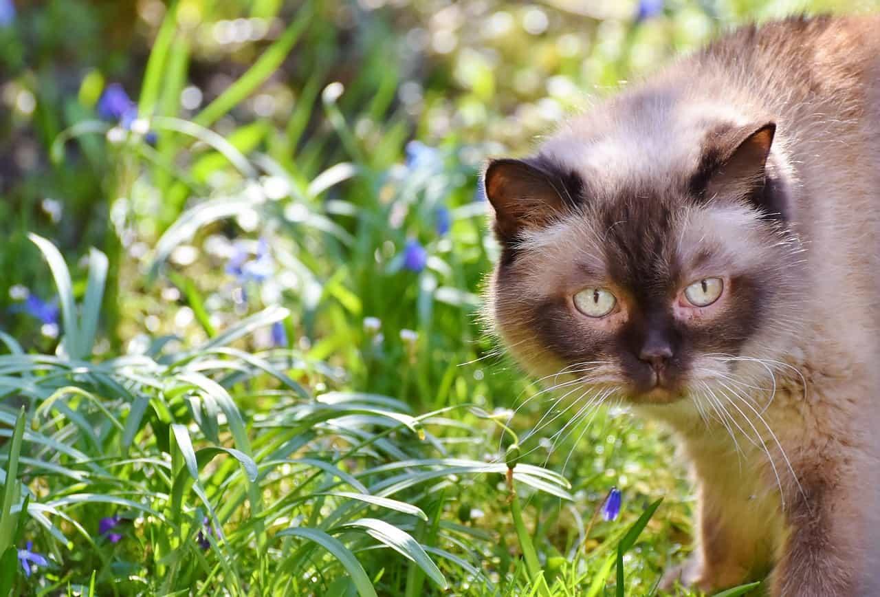 Kot Brytyjski Co Trzeba Wiedzieć Historia Rasy Charakter