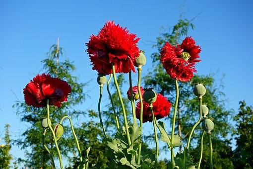opium pozyskiwanie